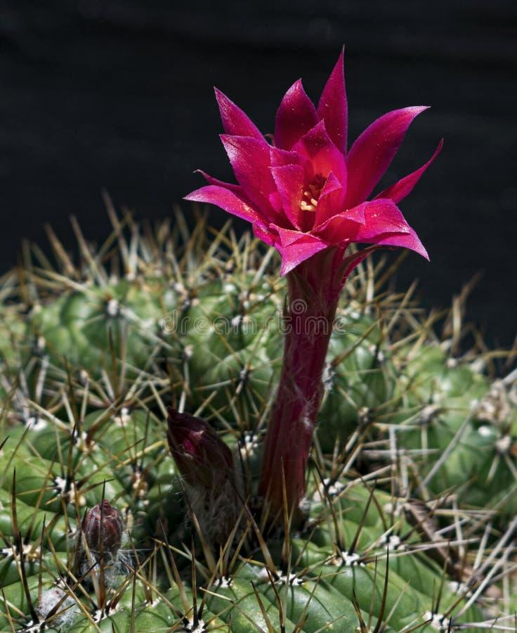 Flor roja y magenta del cactus en la planta espinosa fotografía de archivo