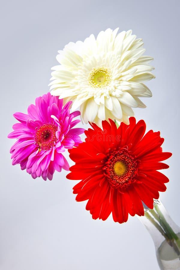 Flor roja y rosada blanca fotos de archivo libres de regalías