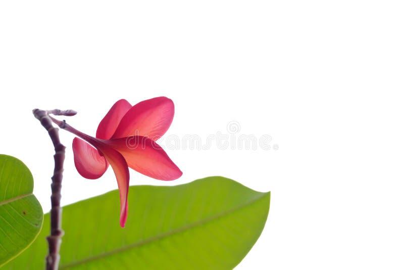 Flor rojo de la flor del Plumeria con las hojas verdes en el fondo aislado blanco para el contexto verde del follaje imagen de archivo libre de regalías