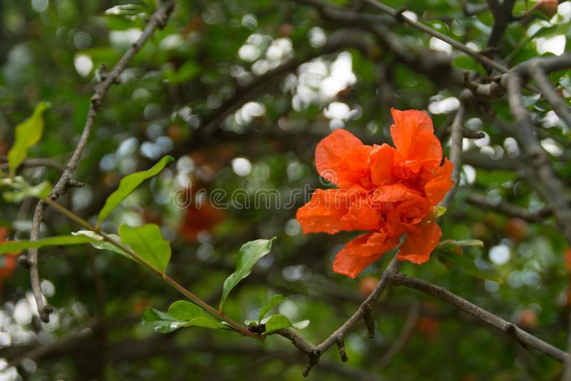 Flor rojo de la granada imágenes de archivo libres de regalías