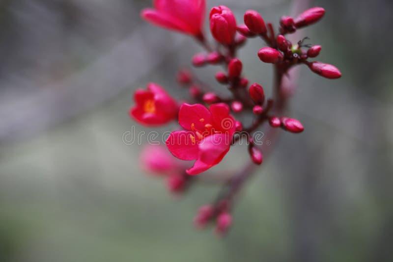 Flor rojo del melocotón en la plena floración imagen de archivo libre de regalías
