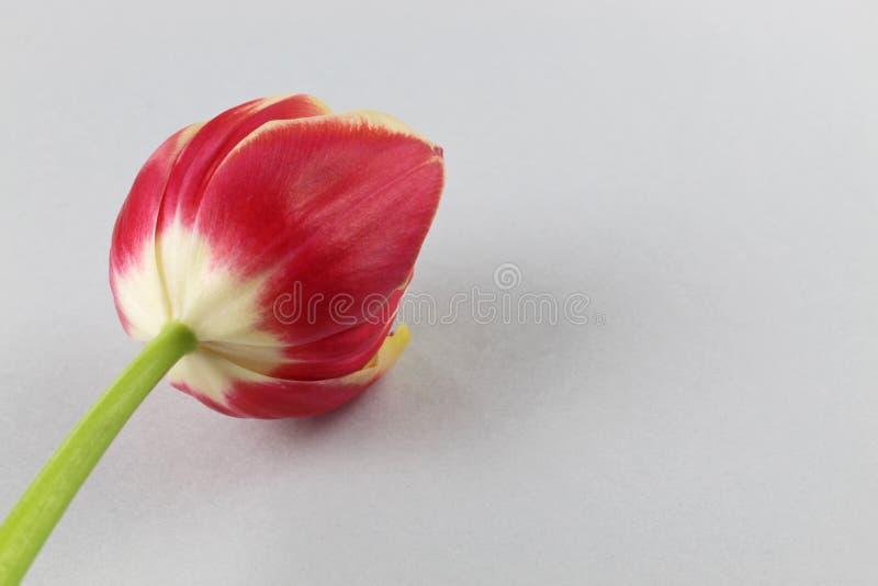 Flor rojo del tulipán en fondo del minimalismo imágenes de archivo libres de regalías