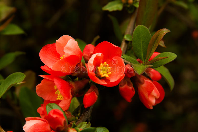 Flor rojo en árbol imagen de archivo libre de regalías