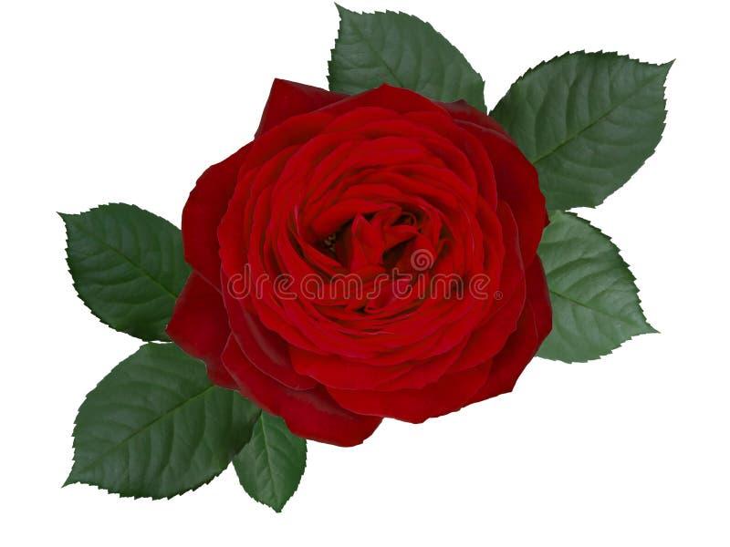 Flor romântica da rosa do vermelho, isolada no fundo branco ilustração stock