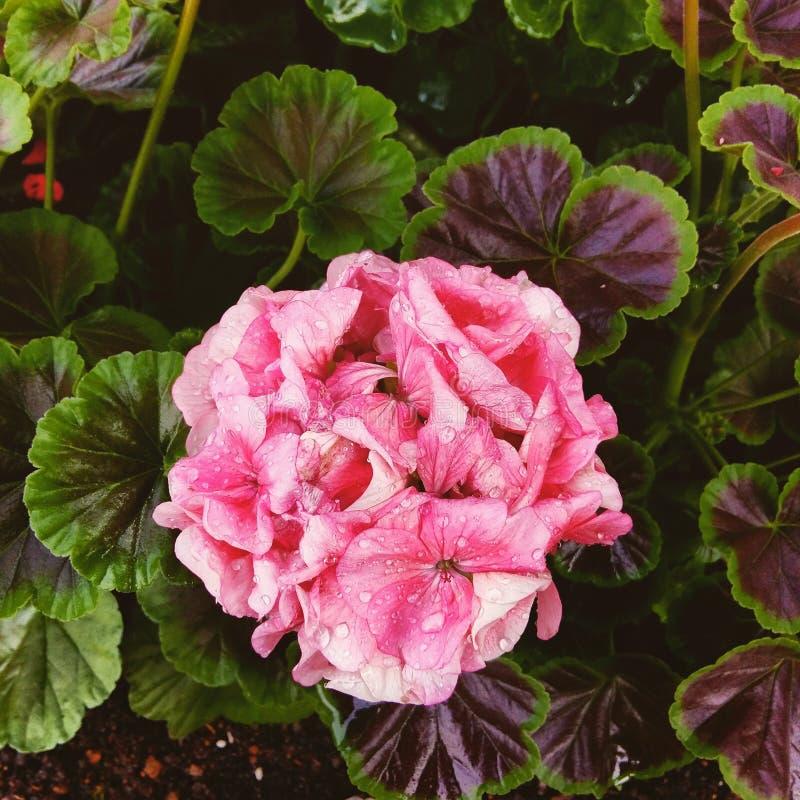 Flor rosácea foto de archivo libre de regalías