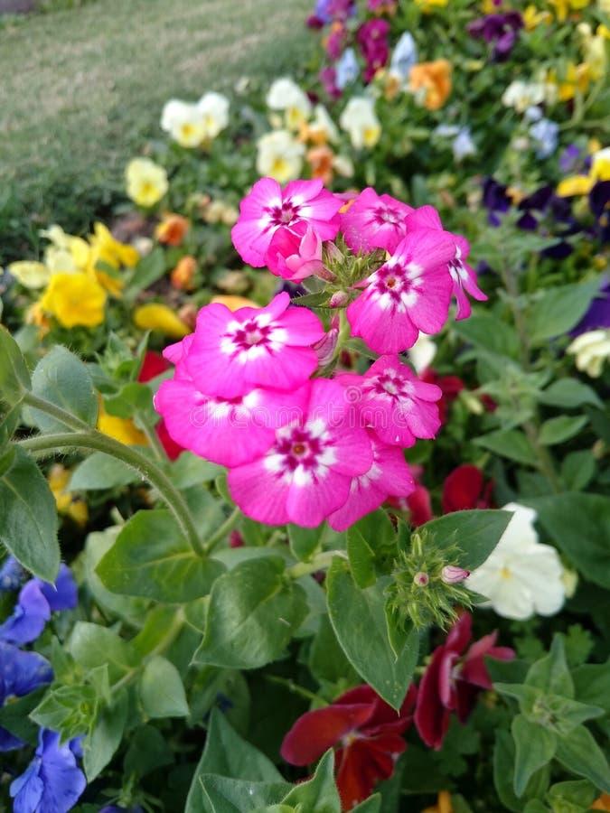 Flor rosa arkivbilder