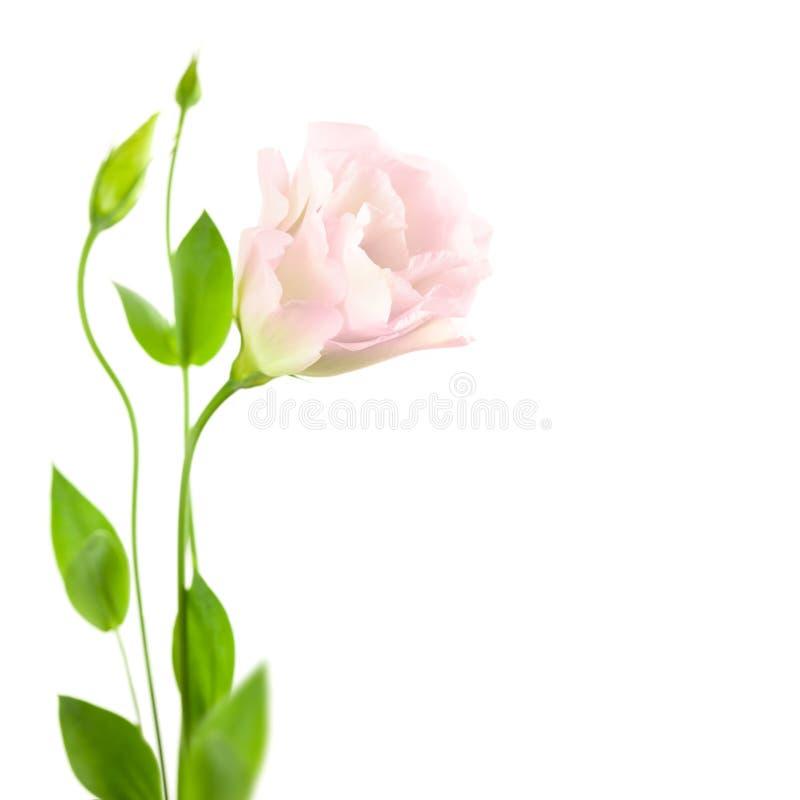 Flor hermosa con los brotes aislados en el blanco/el Eustoma (Lisia foto de archivo libre de regalías