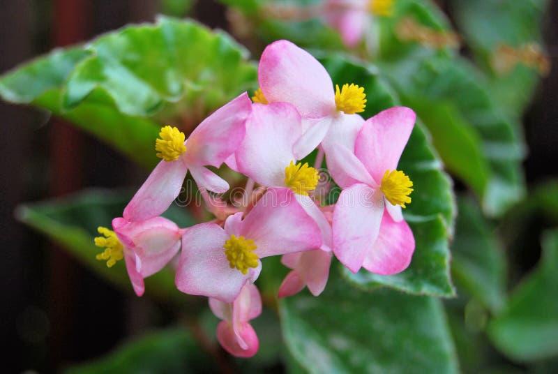 Flor rosa clara hermosa de los impatiens con amarillo fotos de archivo libres de regalías