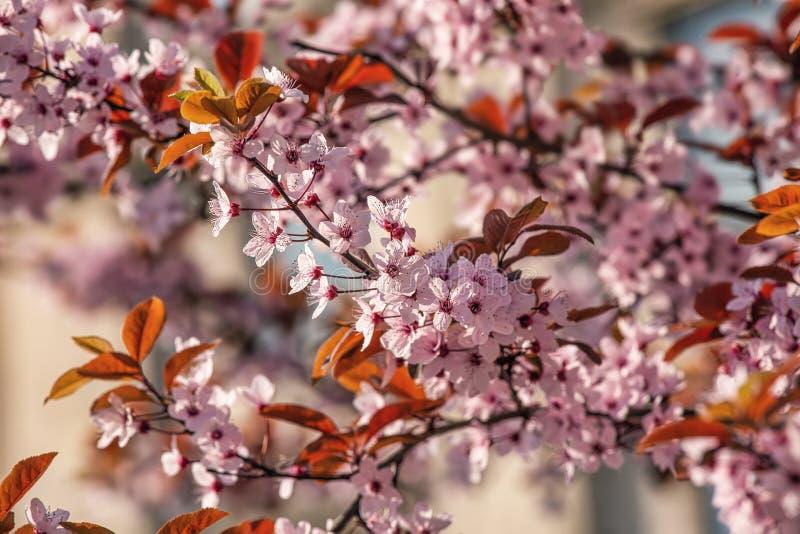 Flor rosa de cereja, fundo exterior de primavera imagens de stock royalty free