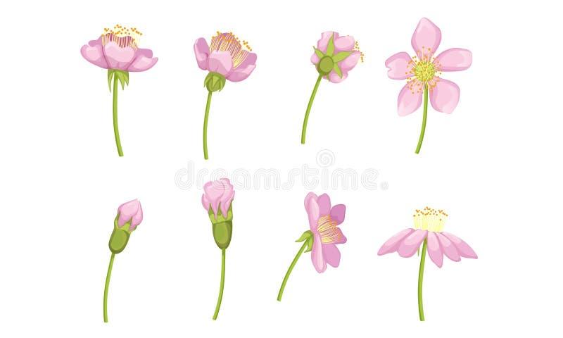 Flor rosa-do-jardim Flores em Fases desde a Abertura da Bud até a Linda Ilustração de Vetor Flor ilustração royalty free