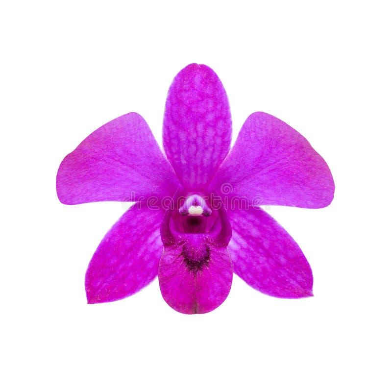 Flor rosa isolada, orquídea de dendróbio único sobre fundo branco imagens de stock
