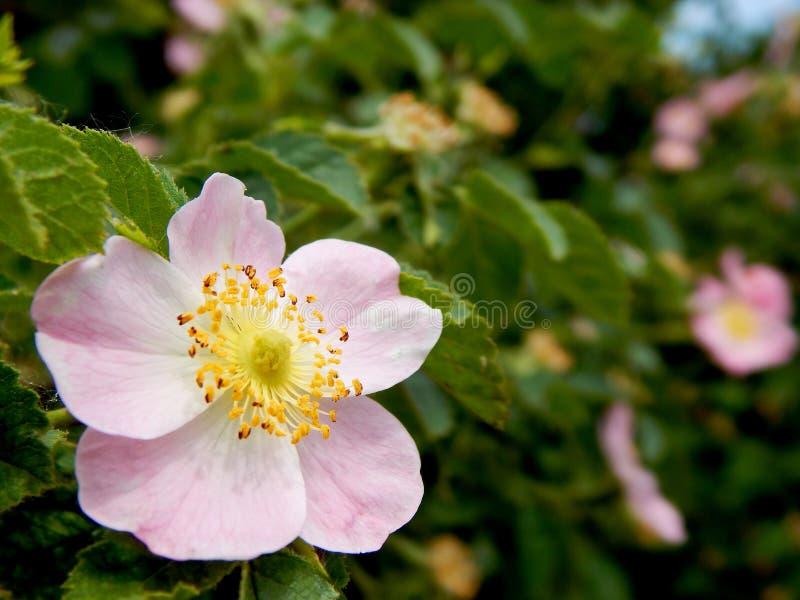 Flor rosa macia num jardim botânico fotografia de stock