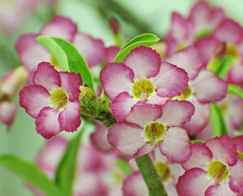 Flor rosada, árbol del obesum del Adenium, desierto Rose, Imp fotos de archivo