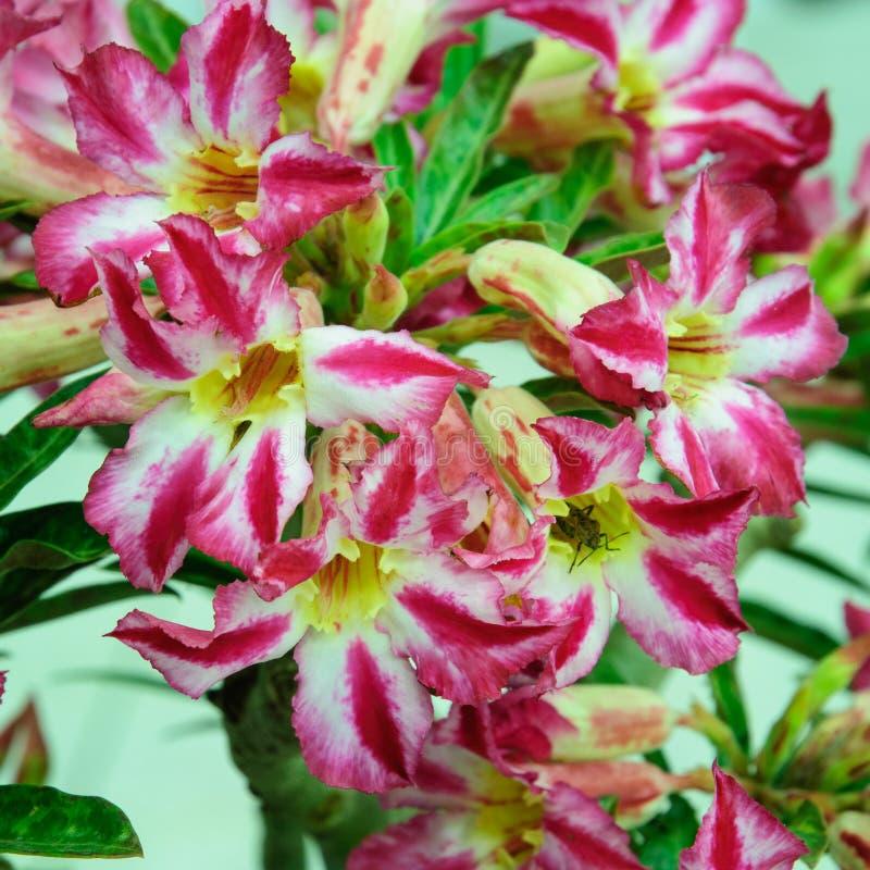 Flor rosada, árbol del obesum del Adenium, desierto Rose, Imp imagen de archivo libre de regalías