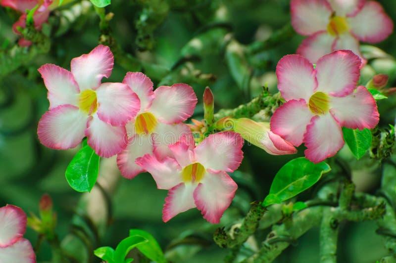 Flor rosada, árbol del obesum del Adenium, desierto Rose, Imp imagenes de archivo