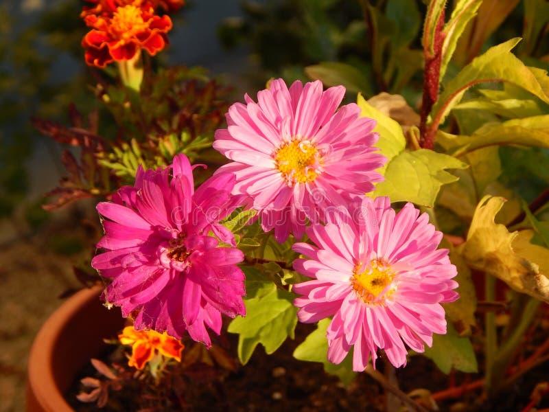Download Flor rosada imagen de archivo. Imagen de hermoso, día - 100526543