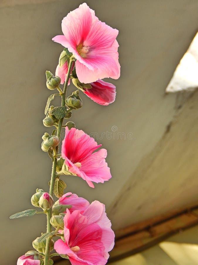 Download Flor rosada imagen de archivo. Imagen de pink, jardín - 100526699