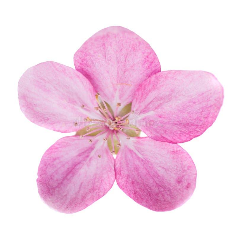 Flor rosada aislada en blanco foto de archivo libre de regalías