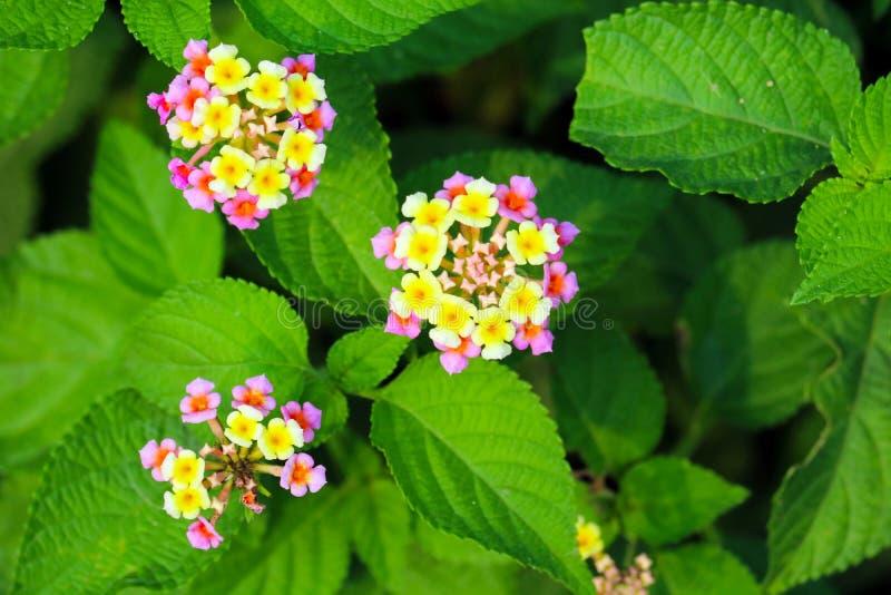 flor rosada amarilla del camara del lantana que florece en jardín fotos de archivo libres de regalías