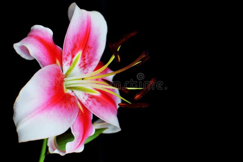 Flor rosada blanca del lirio en negro imagen de archivo libre de regalías