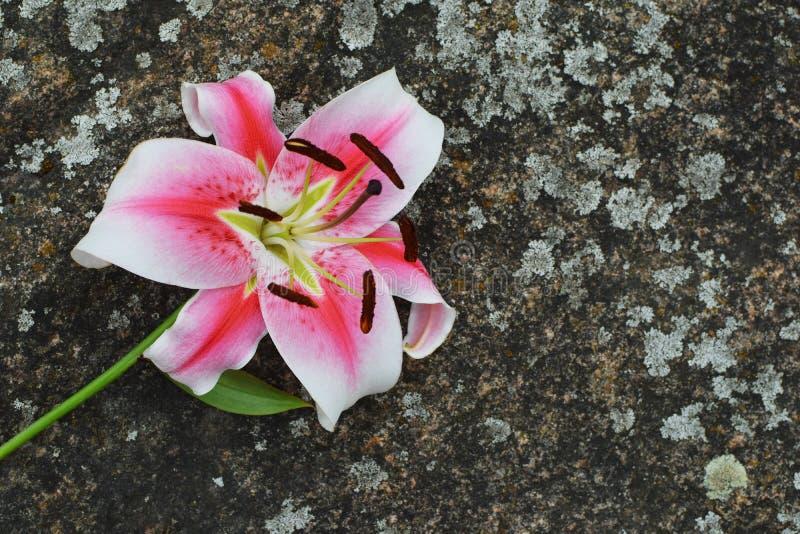 Flor rosada blanca del lirio en piedra imagen de archivo