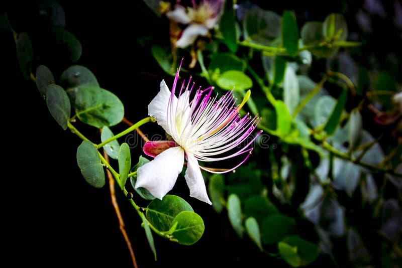Flor rosada blanca hermosa del spinosa del Capparis con las hojas verdes en fondo negro foto de archivo