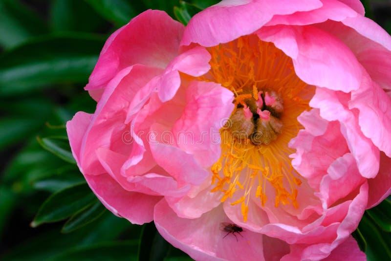Flor rosada blanda foto de archivo libre de regalías