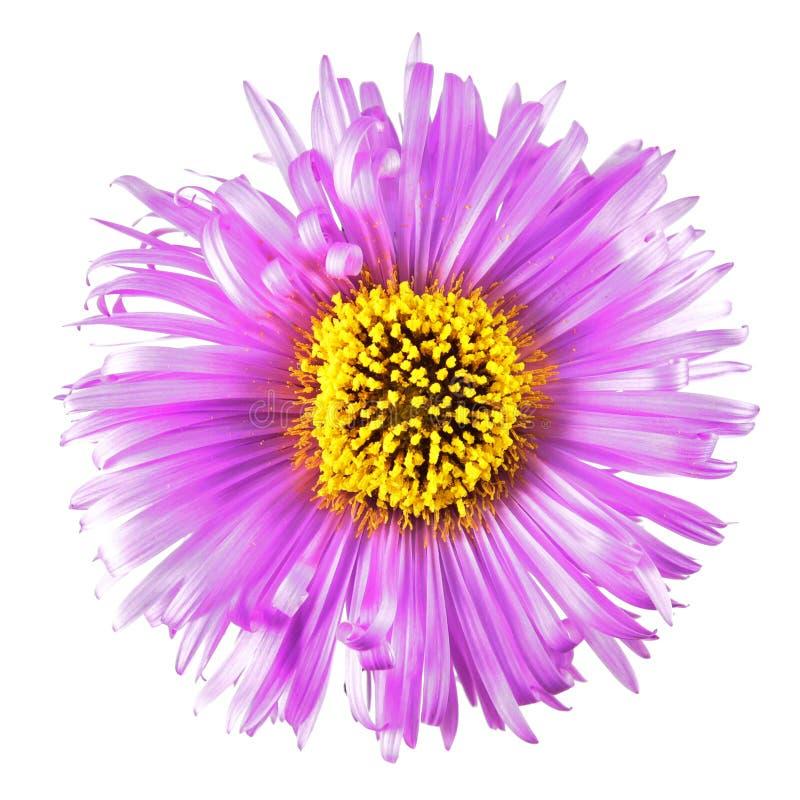 Flor rosada brillante con los pétalos largos aislados en el fondo blanco Flor brillante hermosa del aster imágenes de archivo libres de regalías