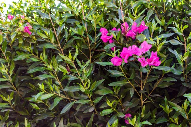 Flor rosada colorida en fondo verde de la hoja en el jardín imagen de archivo