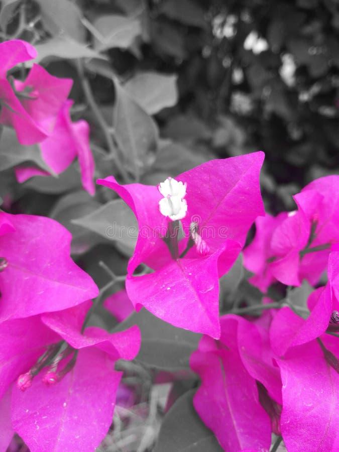 Flor rosada con el estigma blanco fotografía de archivo