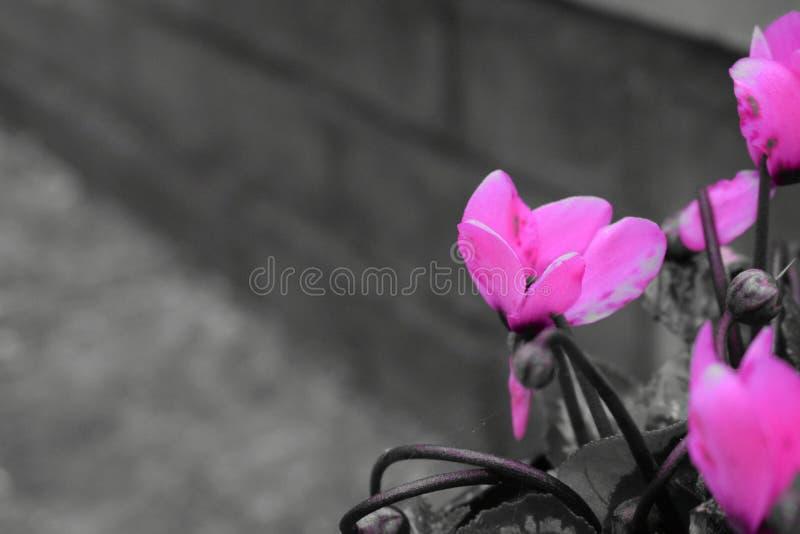 Flor rosada con el fondo del ladrillo fotografía de archivo