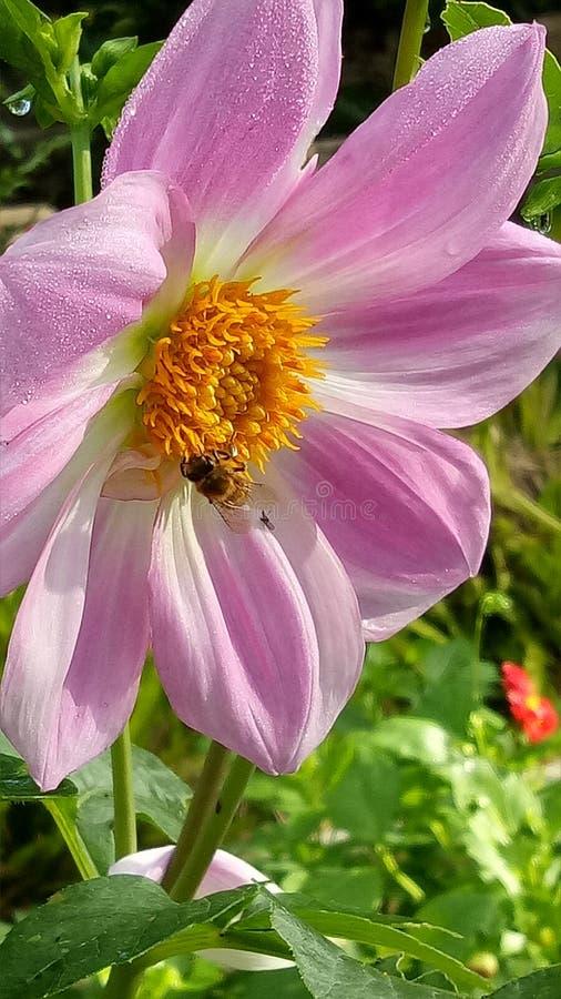 Flor rosada con la abeja foto de archivo libre de regalías