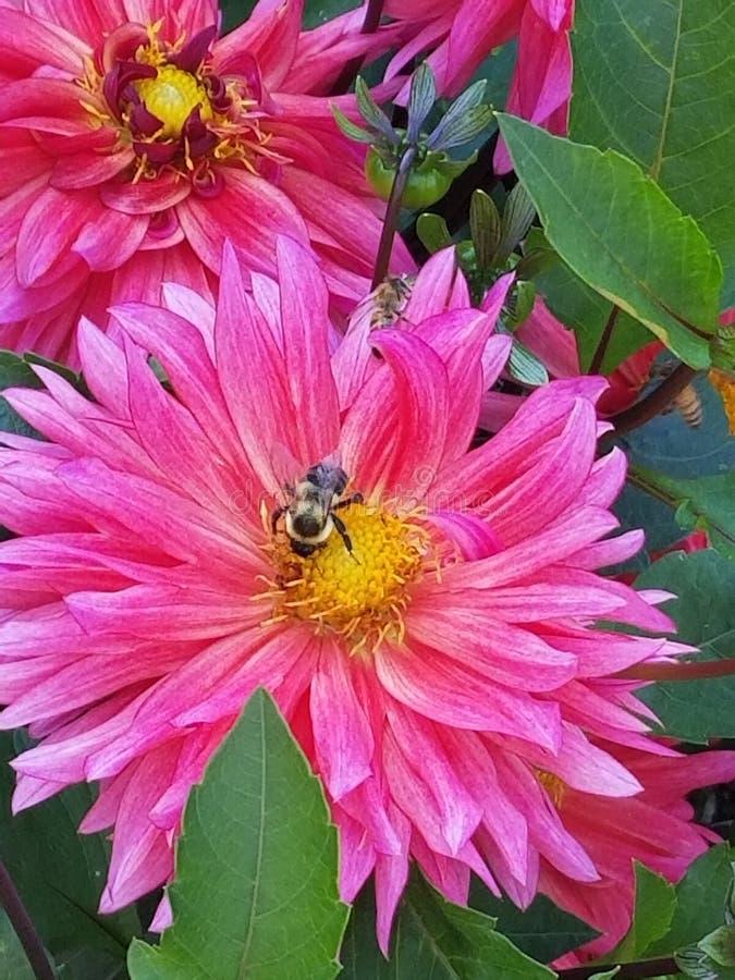 Flor rosada con la abeja imagen de archivo