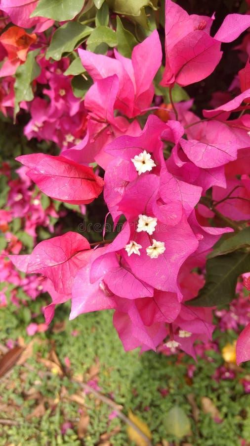 Flor rosada con la flor blanca fotos de archivo libres de regalías