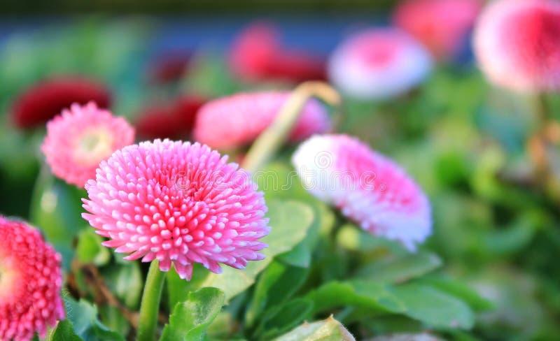 Flor rosada con las porciones de pétalos fotos de archivo