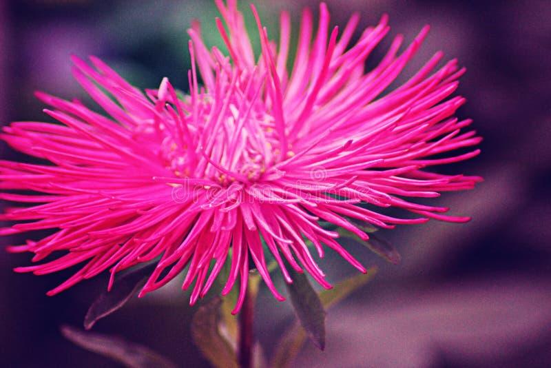 Flor rosada con los pétalos largos y agudos imagen de archivo