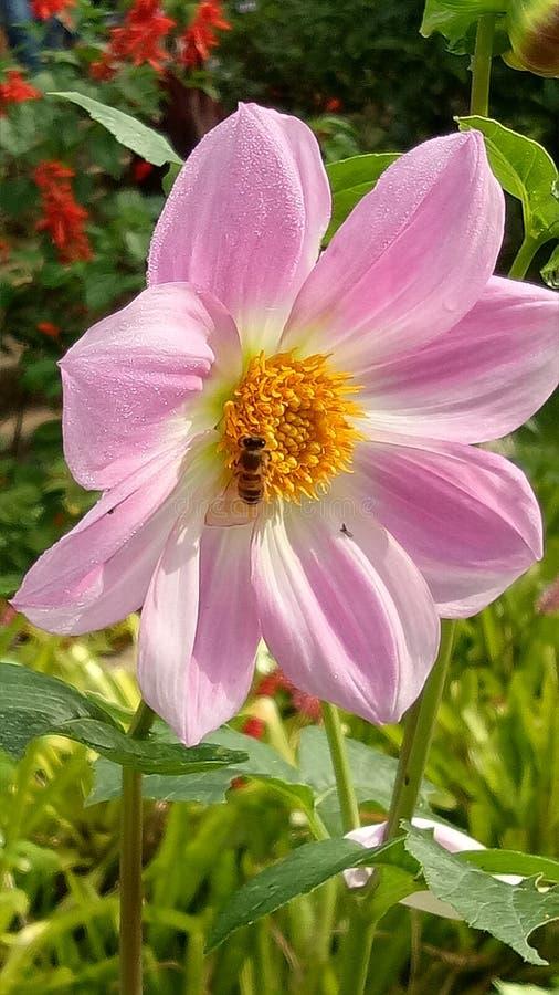 Flor rosada con una abeja havesting algunos pólenes fotos de archivo