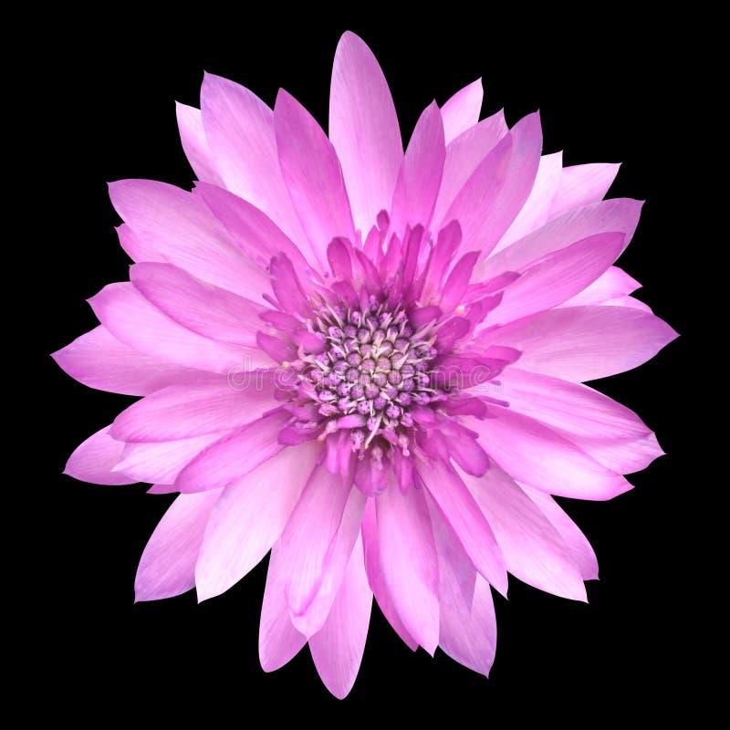 Flor rosada de Conflower en la plena floración aislada en negro fotos de archivo libres de regalías