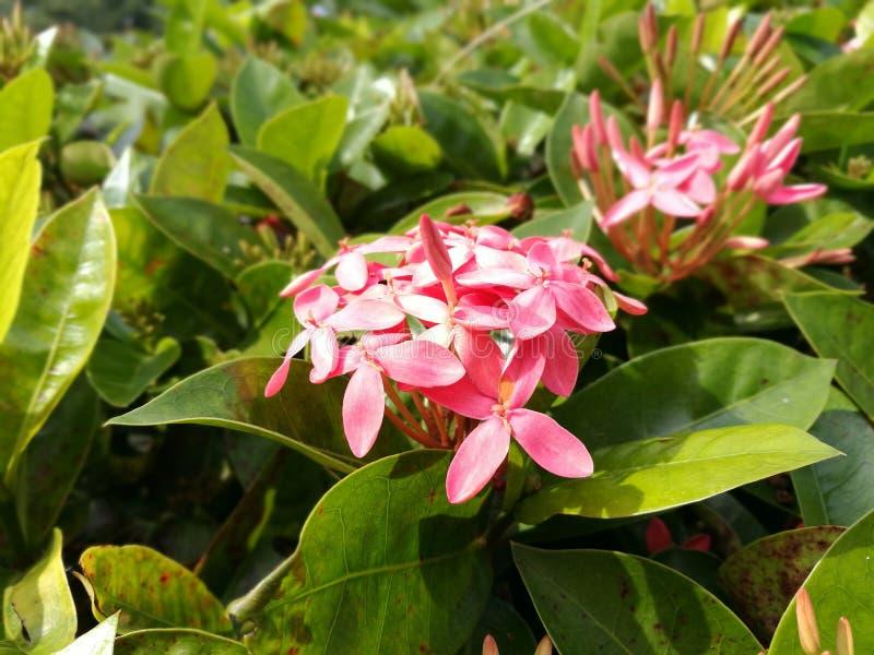 Flor rosada de Ixora foto de archivo