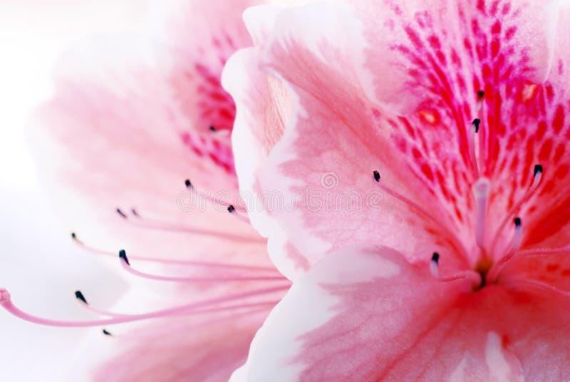 Flor rosada de la azalea imagenes de archivo
