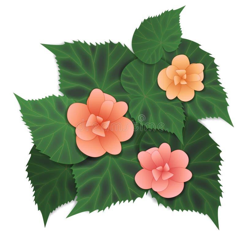 Flor rosada de la begonia libre illustration
