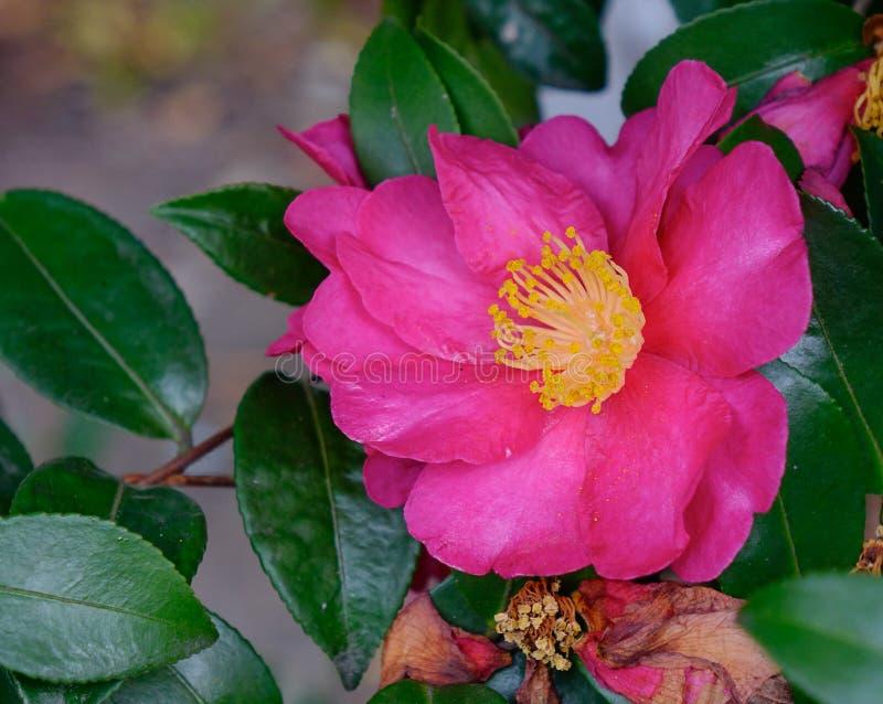Flor rosada de la camelia imagen de archivo