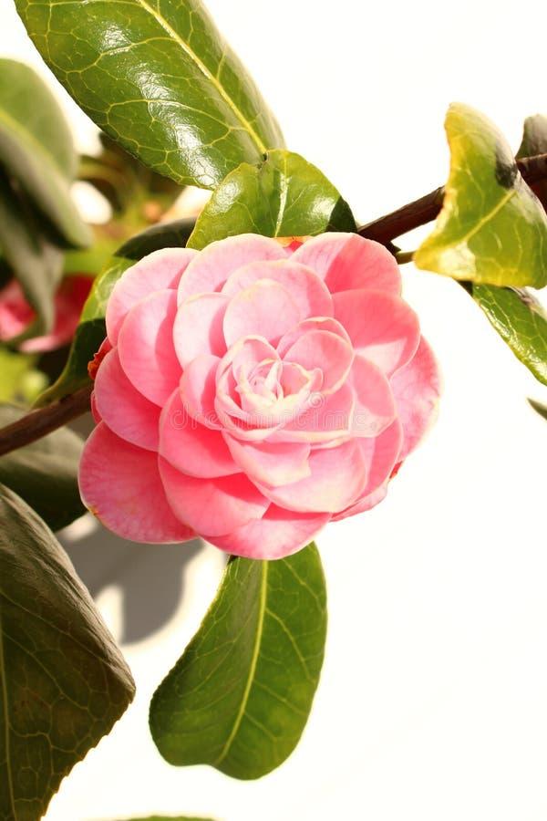 Flor rosada de la camelia en cierre del arbusto para arriba con las hojas y el fondo blanco imagen de archivo