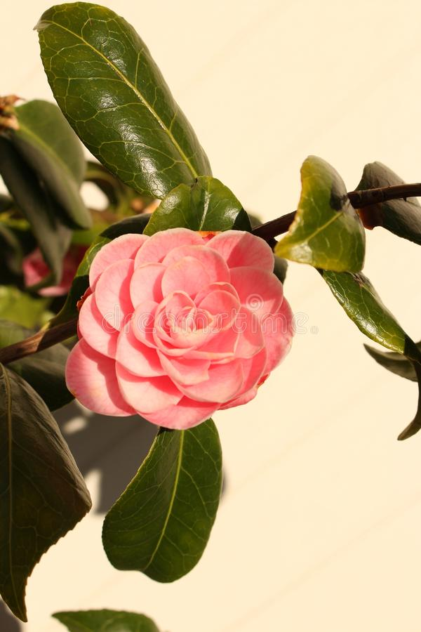 Flor rosada de la camelia en cierre del arbusto para arriba con las hojas y el fondo blanco foto de archivo libre de regalías