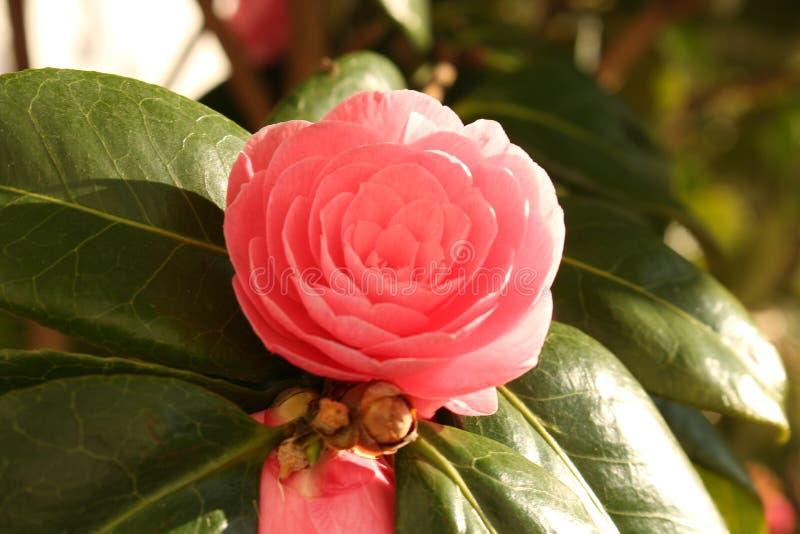 Flor rosada de la camelia en cierre del arbusto para arriba con las hojas y el fondo blanco imagen de archivo libre de regalías