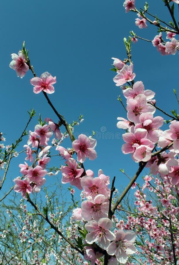 Flor rosada de la flor de cerezo en tiempo de primavera sobre el cielo azul imagen de archivo libre de regalías