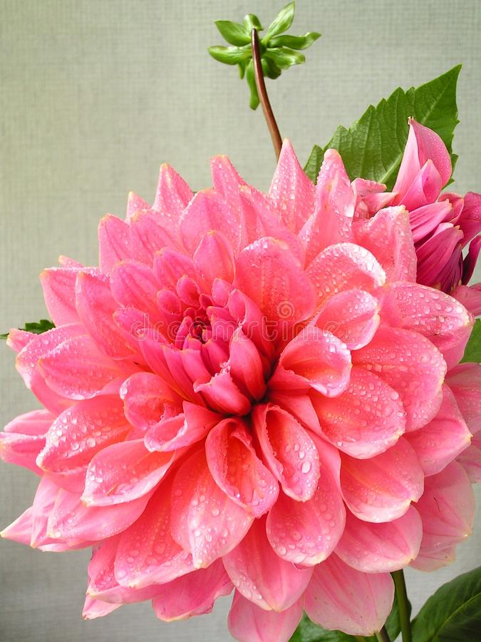 Flor rosada de la dalia con gotas del rocío imagen de archivo