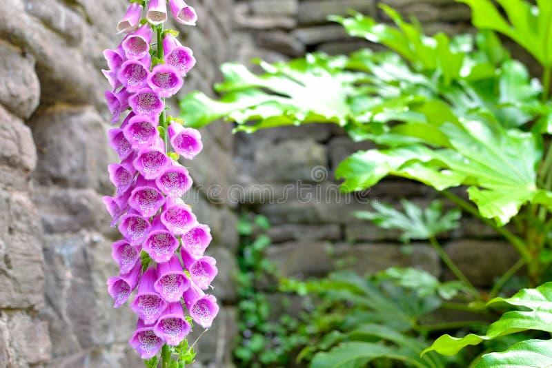 Flor rosada de la dedalera en jardín de la cabaña foto de archivo