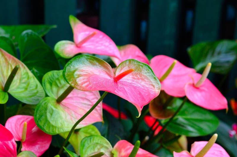 Flor rosada de la espádice foto de archivo