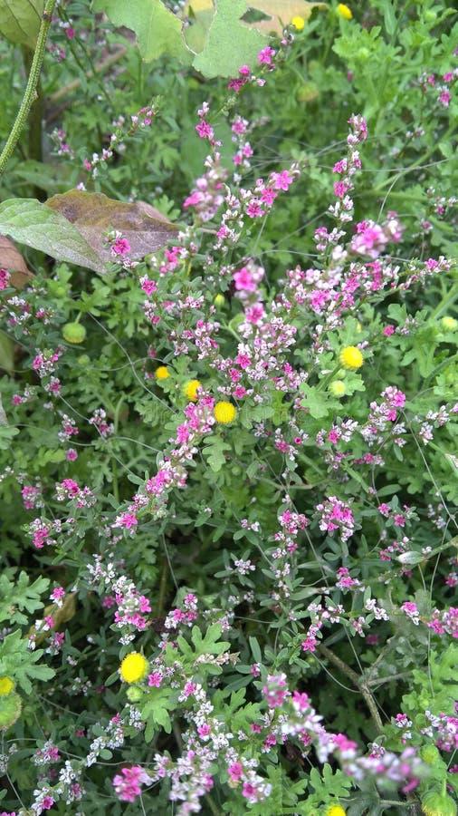 Flor rosada de la hierba de la hierba verde fotografía de archivo